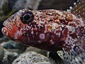 Gobius cruentatus.001 - Aquarium Finisterrae.JPG
