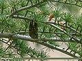 Goldcrest (Regulus regulus) (23551693164).jpg