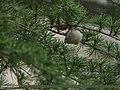 Goldcrest (Regulus regulus) (25429954336).jpg