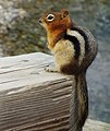 Golden-mantled ground squirrel - Bow Lake.jpg