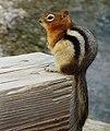 Golden-mantled ground squirrel - Bow Lake.jpg