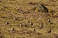 Golden Plovers, Dartmoor - geograph.org.uk - 1217050.jpg