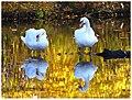 Golden Swans (15735648822).jpg