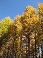 Golden forests at Chongli 崇礼金秋 (8181824378).jpg