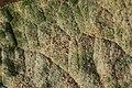 Golovinomyces cynoglossi on Common Comfrey - Symphytum officinale (29927500557).jpg
