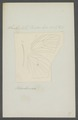 Gonepteryx - Print - Iconographia Zoologica - Special Collections University of Amsterdam - UBAINV0274 052 04 0002.tif