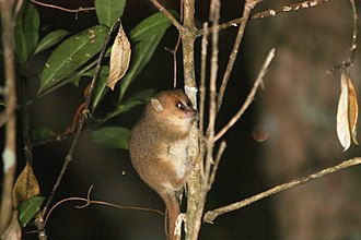 Goodman's mouse lemur - Image: Goodman Mouse Lemur