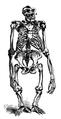 Gorilla skeleton Brehms Tierleben.png