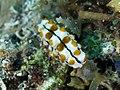 Graeffe's sea cucumber juvenile (Pearsonothuria graeffei) (37965601296).jpg
