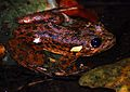 Grandidier's Madagascar Frog (Mantidactylus grandidieri) (7629467794).jpg