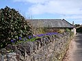 Grape hyacinths planted on top of a wall, Galmpton - geograph.org.uk - 368842.jpg
