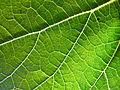 Grapevine leaf.jpg