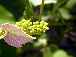 Grapevine during flowering
