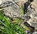 Grasshoppers (20726079078).jpg