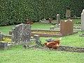 Graveyard Chickens - geograph.org.uk - 577898.jpg