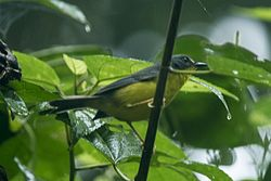 Gray-and-gold Warbler - South Ecuador S4E8591 (23040933926).jpg