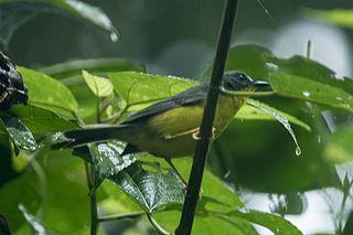 Grey-and-gold warbler species of bird