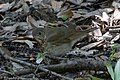 Gray-cheeked Thrush Sabine Woods High Island TX 2018-04-26 08-56-28 (41190455205).jpg