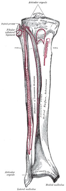 Tibia- spojení s fibulou