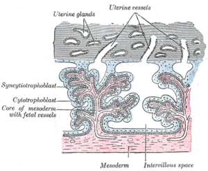 Intervillous space - Secondary chorionic villi. Diagrammatic.