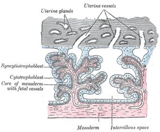 Uterine gland - Image: Gray 37