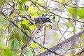 Gray catbird (18993678849).jpg
