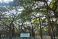Great Banyan Tree (14844831544).jpg