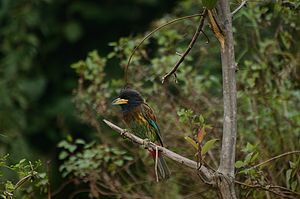Great barbet - Image: Great Barbet in Himachal
