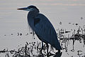 Great Blue Heron (Ardea herodias) (16330504296).jpg
