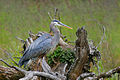 Great Blue Heron at Finley Wildlife Refuge.jpg