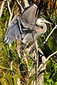 Great Blue Heron at Lake Woodruff - Flickr - Andrea Westmoreland (15).jpg