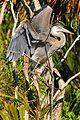 Great Blue Heron at Lake Woodruff - Flickr - Andrea Westmoreland (15).jpg