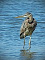 Great Blue Heron in Lake Water.jpg
