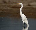 Great Egret I2 IMG 1458.jpg