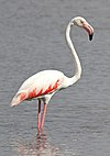 Greater Flamingo, Phoenicopterus roseus at Marievale Nature Reserve, Gauteng, South Afr (22773937344).jpg