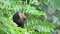 Greater coucal 06.jpg