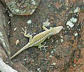 Green Anole juvenile? Anolis carolinensis (38528943352).jpg