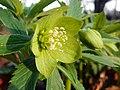 Green Hellebore (Helleborus viridis) (8534168074).jpg
