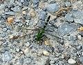 Green dragonfly (3676498367).jpg