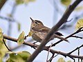 Greenish Warbler I IMG 0570.jpg