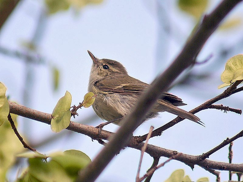 Greenish Warbler I IMG 0570