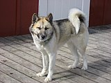 Greenland dog upernavik 2007-06-02 sample.jpg