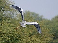 Grey Heron I IMG 8189.jpg