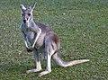 Grey Kangaroo at rest-1and (4621417872).jpg