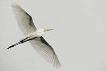 Grey sky, great egret.jpg