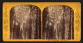 Grizzly Giant, from Robert N. Dennis collection of stereoscopic views.png