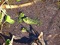 Groene kikkers 10-4-19 - Flickr - Bas van Oorschot.jpg