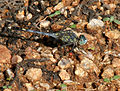 Ground Skimmer (Diplacodes trivialis)- Male W IMG 0993.jpg