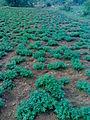 Ground nut field.jpg