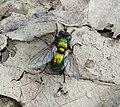 Gymnocheta viridis. Tachinidae (33608351450).jpg